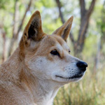 Dingo greeting at Durong Dingo Sanctuary